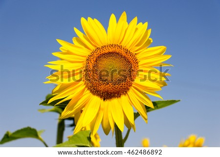 sunflowers on a background blue summer sky