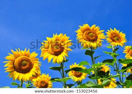 Sunflowers on a background of blue sky. Summer field. - stock photo