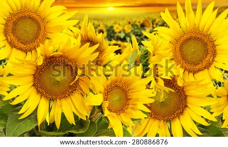 sunflowers on a field and sunset - stock photo