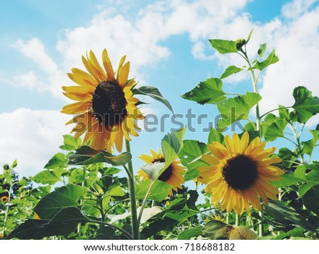 Sunflowers on blue sky clouds, vintage style
