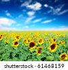 Sunflowers on field and blue sky with clouds - stock photo