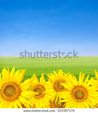 sunflowers over green field and blue sky in summer