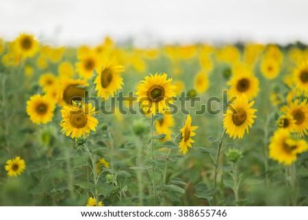 Sunflowers , selective focus - stock photo