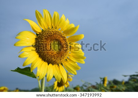 Sunflowers,Sunflowers blooming on the morning time,Sunflowers fresh, beautiful sunflowers,Bright sunflowers on blue sky background - stock photo