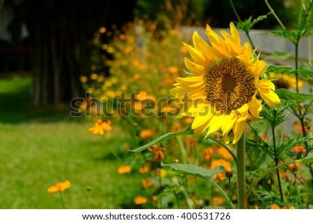 Sunflowers,Sunflowers blooming,yellows flowers,sunflower field - stock photo