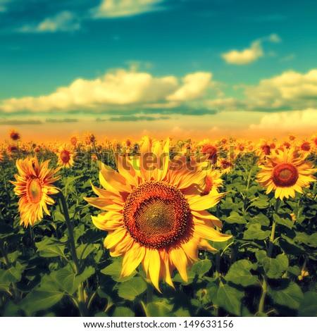 Sunflowers under the blue sky. beautiful rural scene - stock photo