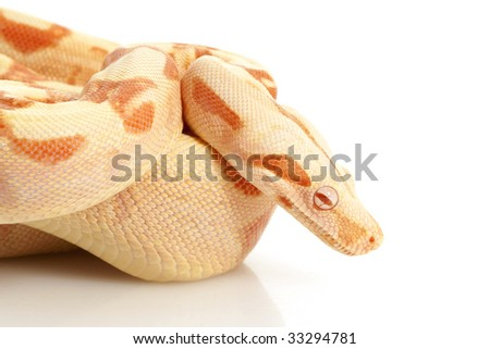 Sunglow Columbian Red-tailed Boa (B. c. constrictor) isolated on white background. - stock photo
