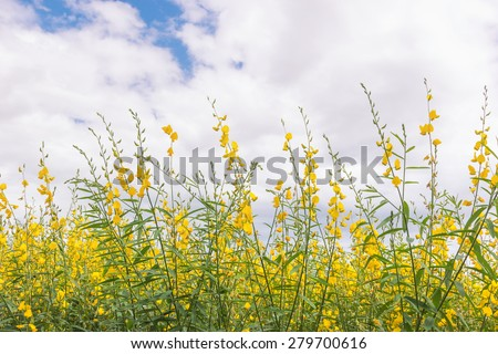 Sunhemp (Crotalaria juncea) field and sky . This plant is improvement soil. - stock photo