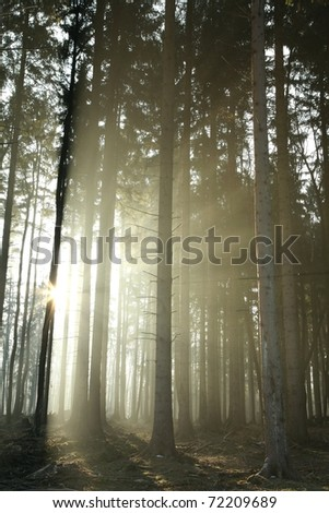Sunlight enters the coniferous forest on a foggy morning.