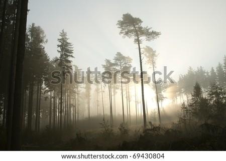 Sunlight illuminates the coniferous forest on a foggy autumn morning. - stock photo