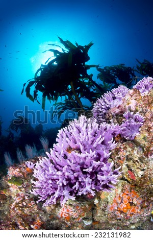 Sunlight in crystal clear blue water frames a beautiful cluster of purple coral in southern California??s Channel Islands. - stock photo