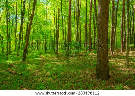 Sunlight In Deciduous Forest, Summer Nature. Sunny Trees And Green Grass. Woods Background. - stock photo