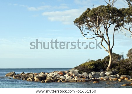 Sunlight on Eucalyptus tree, Tasmania - stock photo