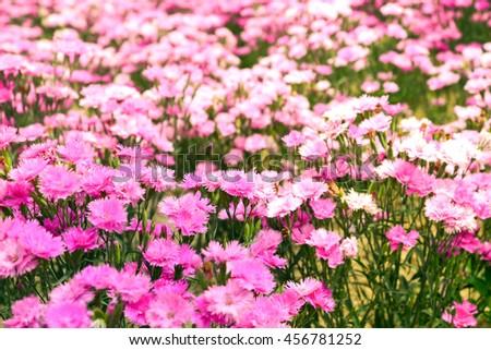 Sunlight over Pink flower field  - stock photo