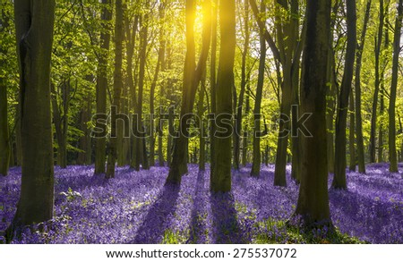 Sunlight shines through beech trees in the bluebell woods of Oxfordshire - stock photo