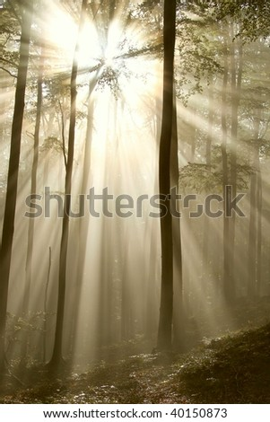 Sunlight shining between the branches of trees and falls into the misty autumnal forest. - stock photo