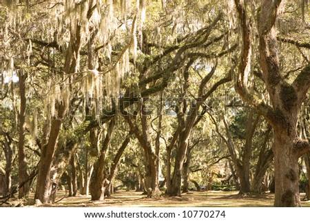 Sunlight shining through spanish moss draped oak trees - stock photo