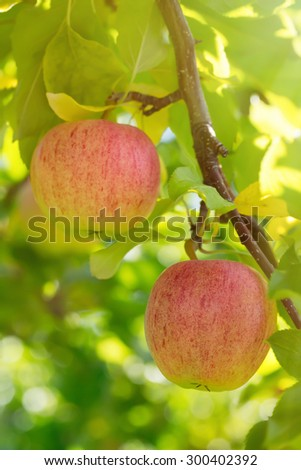 Sunlight streaming through the trees on some Gala apples. - stock photo