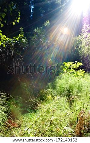 Sunlight streams through the dense California forest - stock photo
