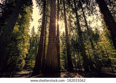 Sunlight through the Forest, Mariposa Grove, Yosemite National Park, California - stock photo