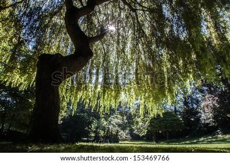 Sunlight through willow tree - stock photo