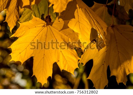 Sunlight through Yellow Maple leaves viewed from ground up