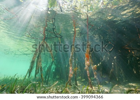Sunlight underwater through the water surface and mangrove roots, Caribbean sea - stock photo