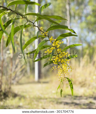 Sunlit australian zigzag wattle flowers Acacia macradenia in bush scene flowering in winter - stock photo