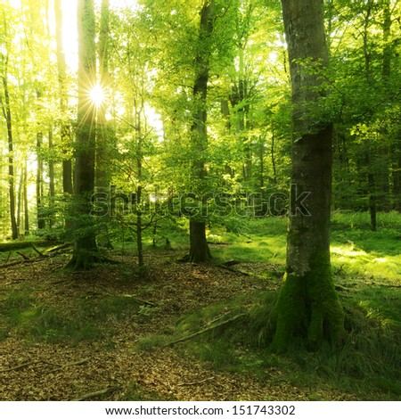 Sunlit Beech Tree Forest  - stock photo