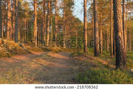 Sunlit pine forest, Finnmarken, Dalarna, Sweden - stock photo