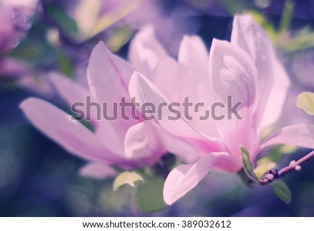 Sunlit pink magnolia flowers as a beautiful floral spring background (very shallow DOF, retro style)
