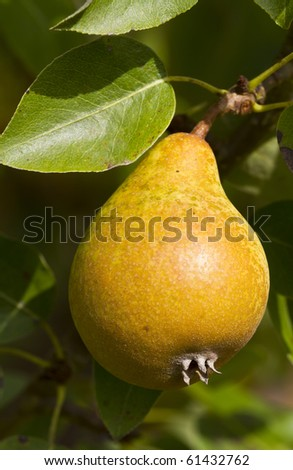 Sunlit ripe pear hanging on a tree - stock photo