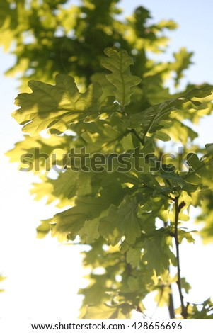 Sunlit young oak tree with fresh green leaves