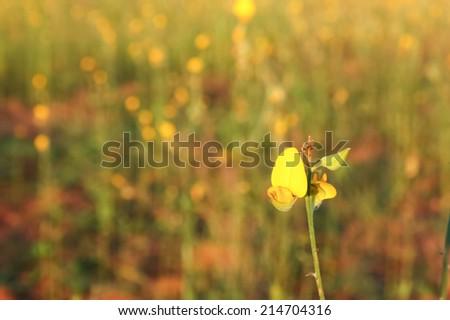 Sunn hemp flower on blur field background - stock photo