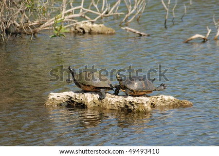sunning turtles, Everglades