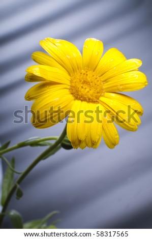 Sunny calendula - stock photo