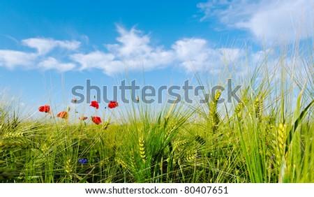 Sunny day above barley field. - stock photo