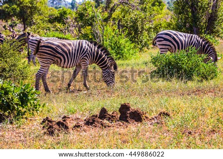 Sunny day in the Kruger National Park, South Africa. Herd of zebras grazing in the bush - stock photo