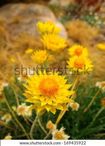 Sunny everlasting daisies at Mt Buffalo, Victoria, Australia - stock photo