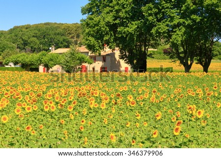 Sunny field of sunflower in Provence, France