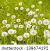 sunny meadow with dandelions - stock photo