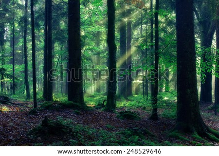 Sunny Morning in the Forest with Sunbeams shining through the Trees