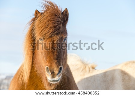Sunny portrait of the brown shaggy Icelandic horse in winter. Iceland.