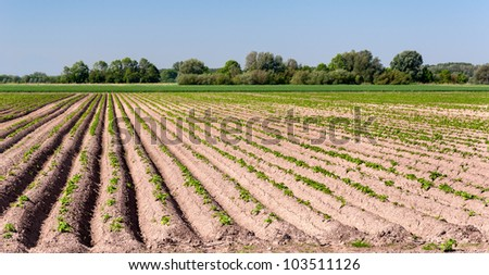 Sunny potato field with rows in the Netherlands - stock photo