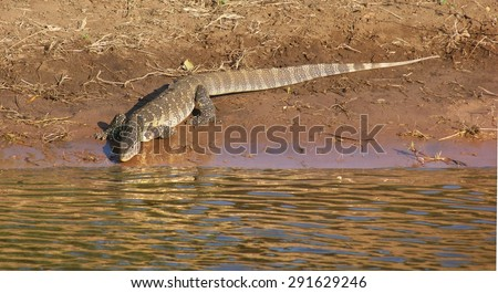 sunny riparian scenery with nile monitor in Botswana, Africa - stock photo