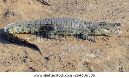 sunny scenery including a crocodile resting on the ground seen in Botswana, Africa - stock photo