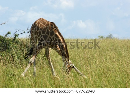 sunny scenery including a Rothschild Giraffe in Uganda (Africa) while grazing - stock photo