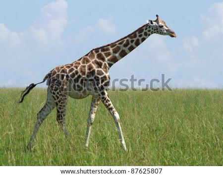 sunny scenery with a Rothschild Giraffe in Uganda (Africa) while walking through wide grassland - stock photo
