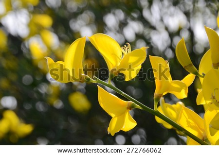Sunny Spanish gorse yellow flowers on a blurred background. Decorative twig with the bright yellow florets of the weaver's broom - stock photo