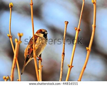 Sunny sparrow - stock photo